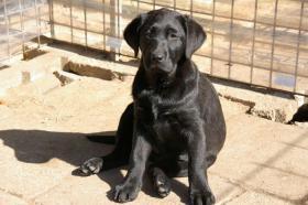 Foto 25 Labradorwelpen mit Papieren in der Farbe schwarz