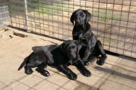 Foto 26 Labradorwelpen mit Papieren in der Farbe schwarz