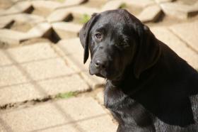 Foto 27 Labradorwelpen mit Papieren in der Farbe schwarz