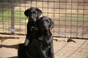 Foto 28 Labradorwelpen mit Papieren in der Farbe schwarz