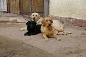 Foto 47 Labradorwelpen mit Papieren in der Farbe schwarz