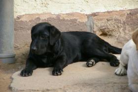 Foto 49 Labradorwelpen mit Papieren in der Farbe schwarz