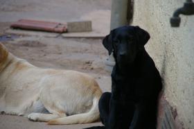 Foto 50 Labradorwelpen mit Papieren in der Farbe schwarz