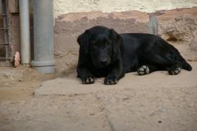 Foto 51 Labradorwelpen mit Papieren in der Farbe schwarz
