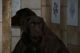 Foto 3 Labradorwelpen mit Papieren in braun