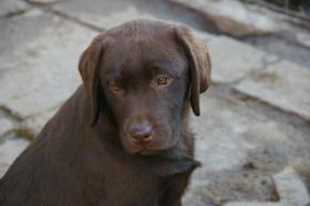 Labradorwelpen mit Papieren in braun