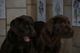 Foto 6 Labradorwelpen mit Papieren in braun