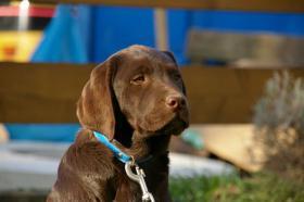 Foto 10 Labradorwelpen mit Papieren in braun