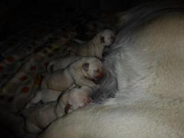 Foto 4 Labradorwelpen in blond