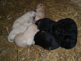 Foto 5 Labradorwelpen blond und schwarz