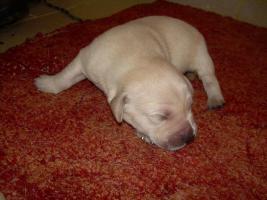 Labradorwelpen blond, schwarz ab 490 Euro