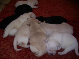 Foto 2 Labradorwelpen blond, schwarz ab 490 Euro