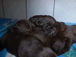 Labradorwelpen in braun