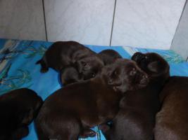 Foto 5 Labradorwelpen in braun