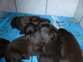 Foto 6 Labradorwelpen in braun