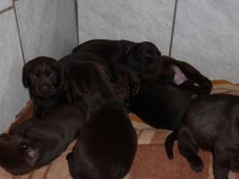 Foto 12 Labradorwelpen in braun