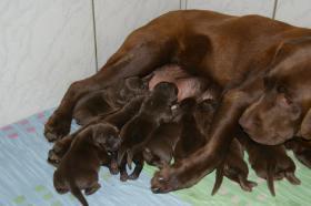 Foto 2 Labradorwelpen in braun