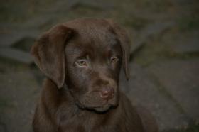 Foto 3 Labradorwelpen in braun