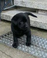 Foto 2 Labradorwelpen schwarz