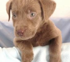 Labradorwelpen in sehr seltenem silber und edlem charcoal abzugeben