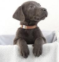 Foto 3 Labradorwelpen in sehr seltenem silber und edlem charcoal abzugeben