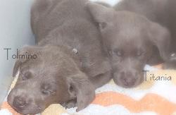 Foto 5 Labradorwelpen in sehr seltenem silber und edlem charcoal abzugeben