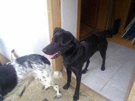 Foto 2 Labrator, schwarz, Rüde, 15 Monate sucht ein neues Zuhause