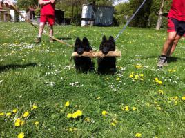 Foto 8 Lackschwarze Langhaarsch�ferhundewelpen