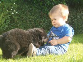 Foto 9 Lackschwarze Langhaarsch�ferhundewelpen
