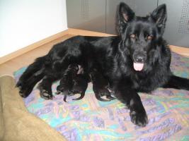 Foto 13 Lackschwarze Langhaarsch�ferhundewelpen