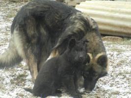 Foto 4 Lackschwarze und Wolfsgraue Altdeutsche Schäferhundwelpen