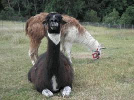Lamas abzugeben, Hengst , Stuten mit Fohlen