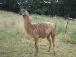 Foto 2 Lamas abzugeben, Hengst , Stuten mit Fohlen