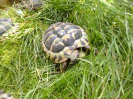 Landschildkröten Paar Hermanni Hermanni