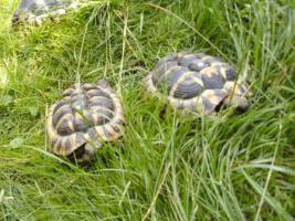 Foto 2 Landschildkröten Paar Hermanni Hermanni