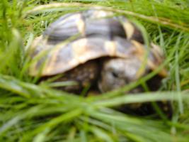 Foto 3 Landschildkröten Paar Hermanni Hermanni