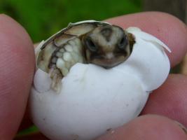Foto 2 Landschildkrötenbabys aus 2012