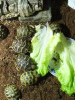 Foto 3 Landschildkrötenbabys aus 2012