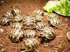 Foto 4 Landschildkrötenbabys aus 2012