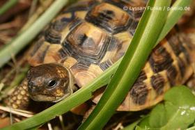 Landschildkrötenbabys aus privater Hobbyzucht, 2013