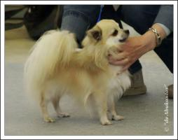 Langhaar Chihuahua Hundezucht