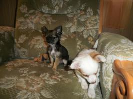 Foto 2 Langhaar Chihuahua Welpen