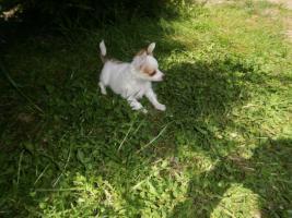 Foto 4 Langhaar Chihuahua Welpen