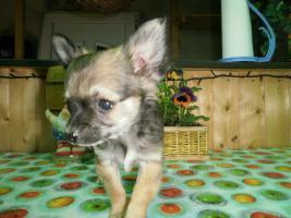 Foto 5 Langhaar Chihuahua Welpen