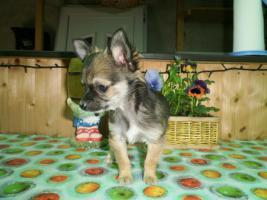 Foto 6 Langhaar Chihuahua Welpen