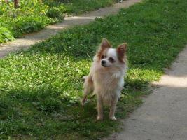 Langhaar Chihuahua Zuchtr�de