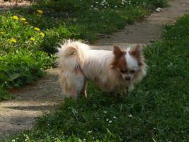 Foto 3 Langhaar Chihuahua Zuchtr�de