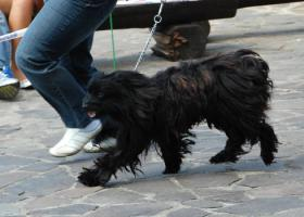 Foto 2 Langhaariger Pyrenäenschäferhund