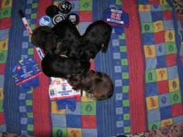 Foto 3 Langhaariger Pyren�ensch�ferhund