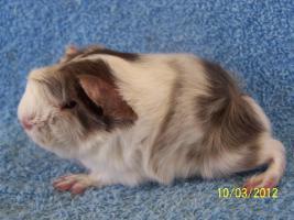 Foto 2 Langhaarmeerschweinchen / Peruaner